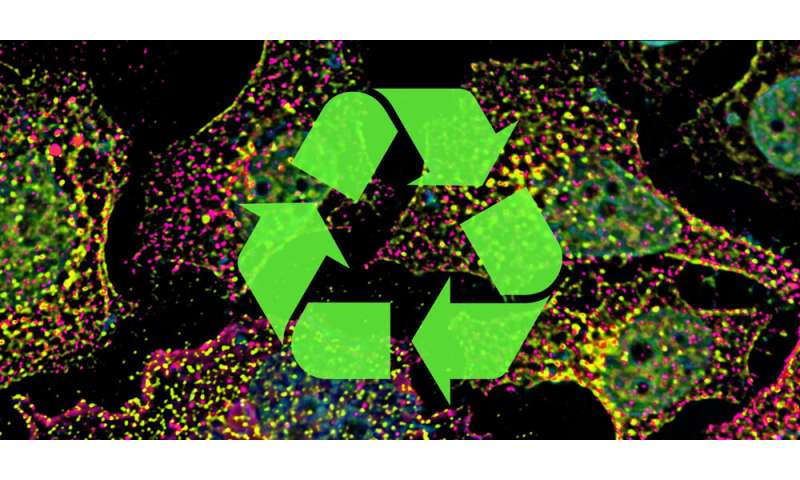 Kiss and run: How cells sort and recycle their components