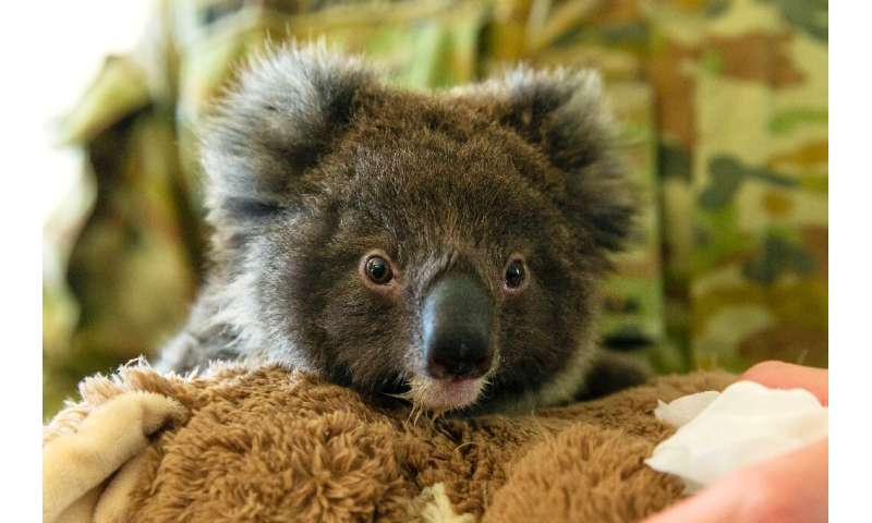 Koalas are classified as 'vulnerable', and have recently suffered massive loss of habitat due to wildfires