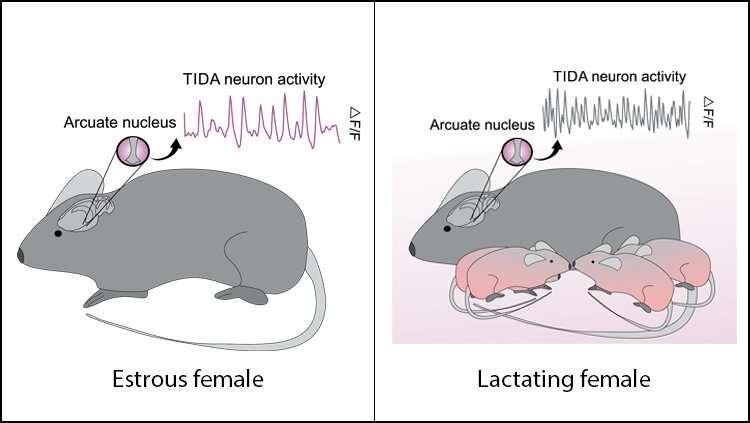 Lactation changes how mom's neurons communicate -- but it's reversible