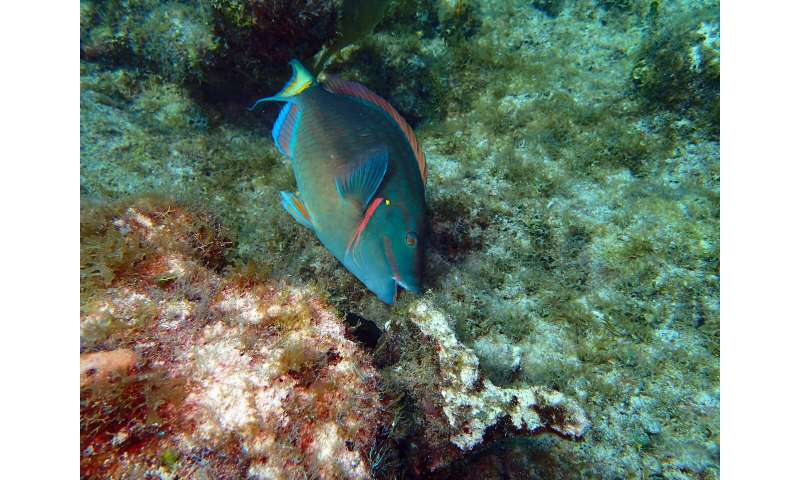 Large 'herbivores of the sea' help keep coral reefs healthy