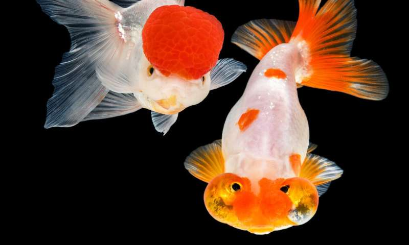 Large scale sequencing of goldfish and carp reveals their origins