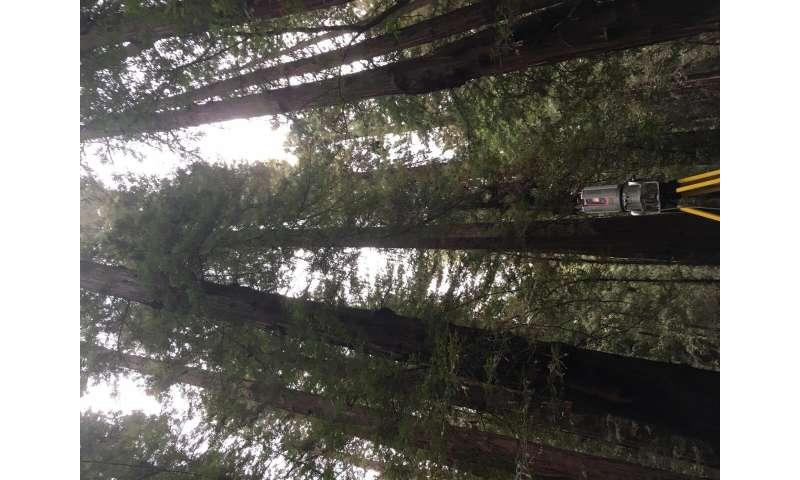 La tecnología láser mide la biomasa en los árboles más grandes del mundo
