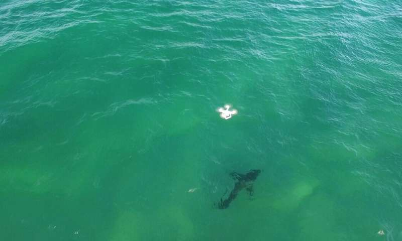 Lifeguards with drones keep humans and sharks safe