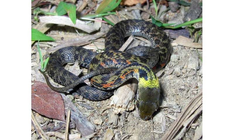 Line of defense: Scientists report surprising evolutionary shift in snakes