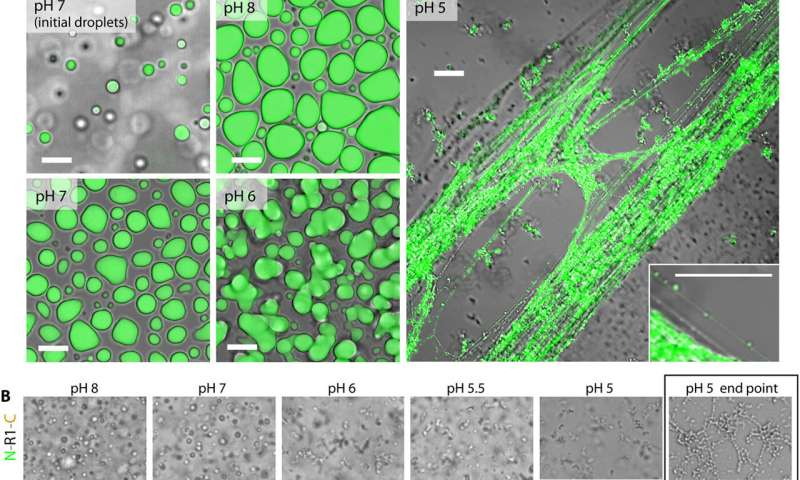 Liquid-liquid phase separation found to drive the process of converting spidroin proteins to spider web fibers