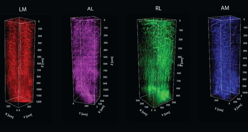 Live imaging method brings structural information to mapping of brain function