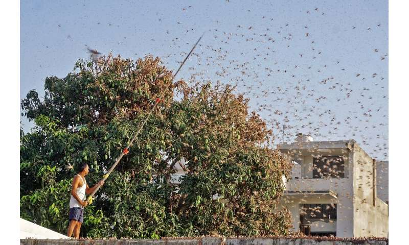 Locusts have caused massive damage to seasonal crops in two Indian states