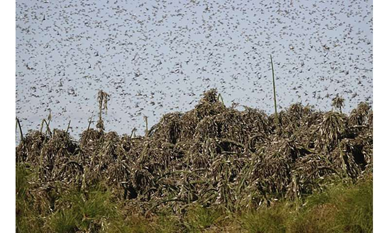 Locusts now threatening parts of southern Africa, UN says