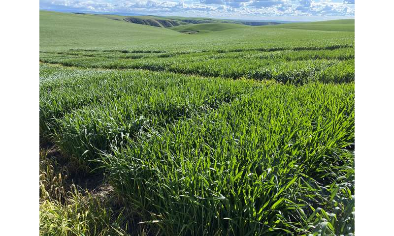 'Madsen' wheat as source of disease resistance
