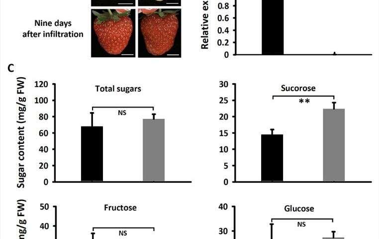 MdSUT4.1 participates in regulation of fruit sugar accumulation in apples