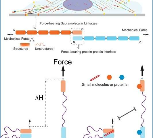 Measurement of mechanical stability of force transmission supramolecular linkages