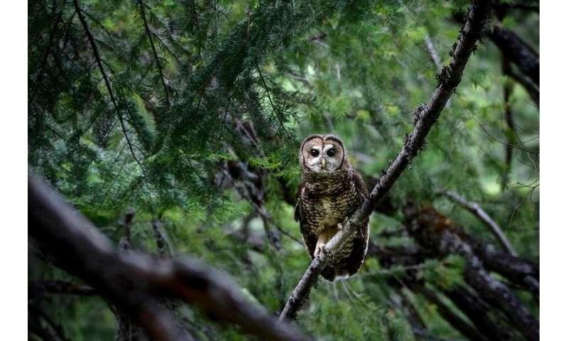 Megafire does not deter Yosemite's spotted owls