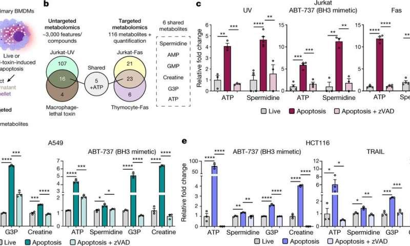 Metabolites released during apoptosis found to induce macrophages to express genes involved in tissue repair