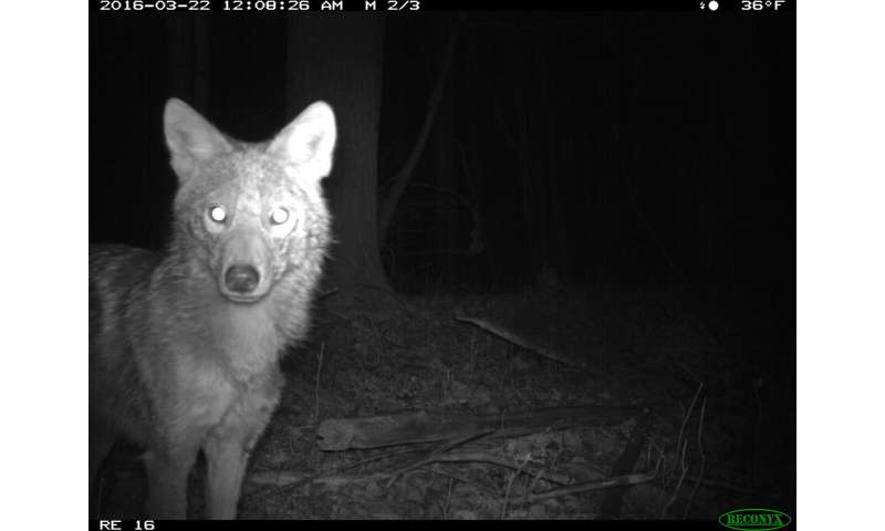 Michigan coyotes: What's for dinner depends on what the neighbors are having
