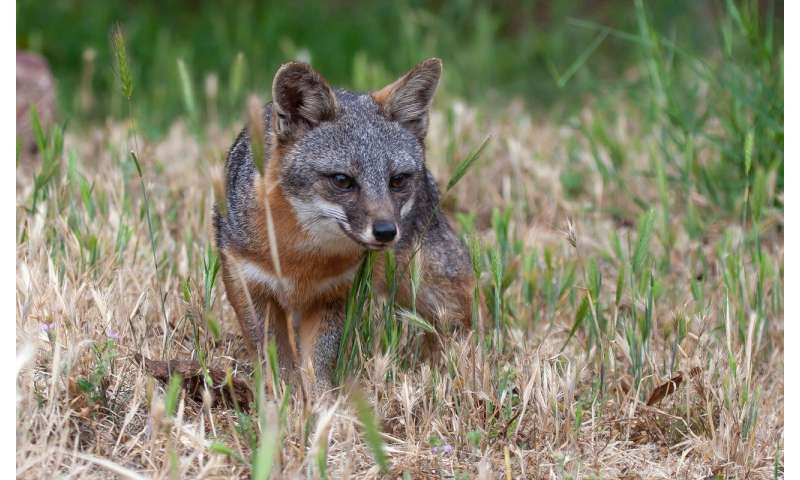 Microbes linked to cancer in threatened California foxes, report Princeton researchers