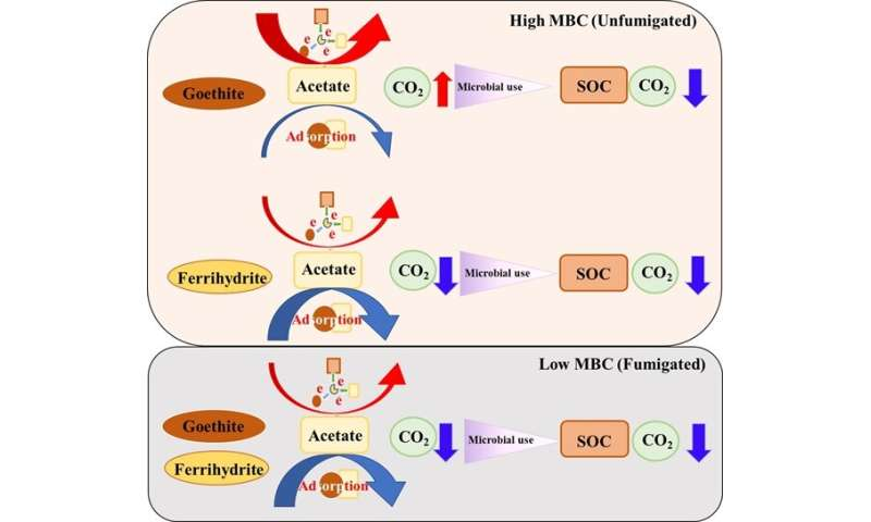 Microbial biomass change shifts the role of iron oxides in organic C mineralization in anoxic paddy soil