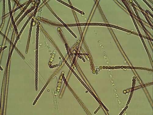 Milking algae mechanically: Progress to succeed petroleum derived chemicals