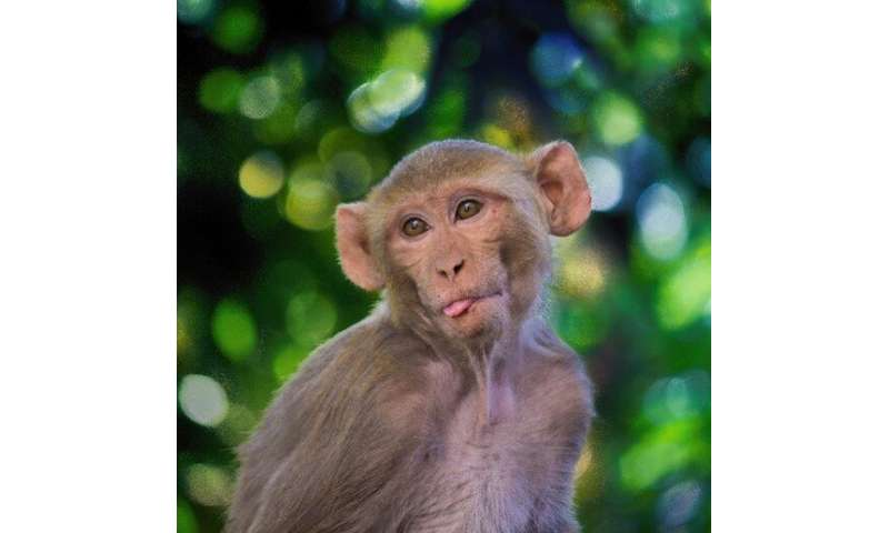 Mimicking SARS-CoV-2 nasal infection in monkeys