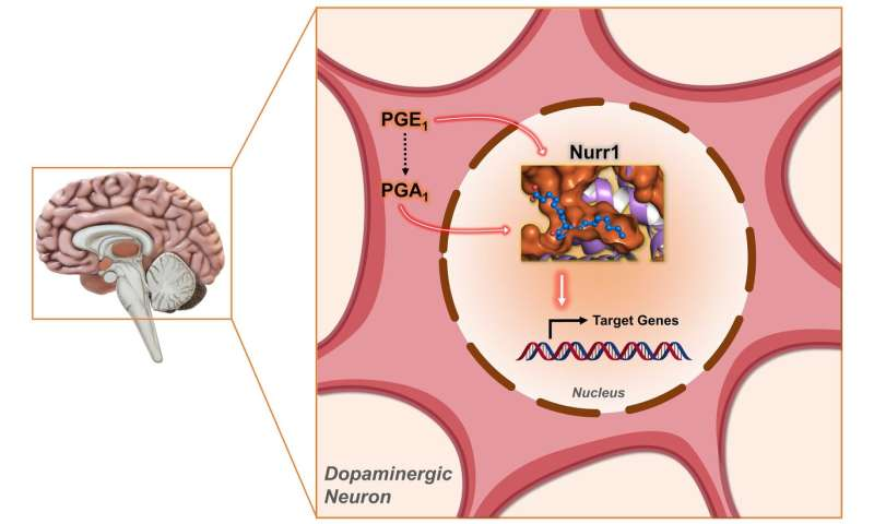 Molecular pair offers potential for Parkinson's treatment, finds NTU Singapore-Harvard study