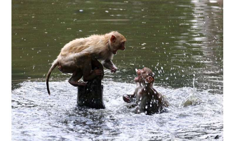 Monkeys took to public ponds to escape the heat in Allahabad as India wilted under record high temperatures in some places