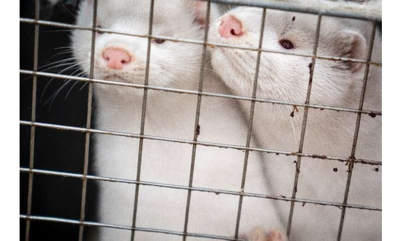 Scientists on guard over 'mutant' mink coronavirus thumbnail