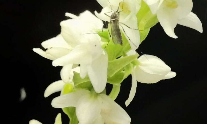 Mosquitoes are drawn to flowers as much as people -- and now scientists know why