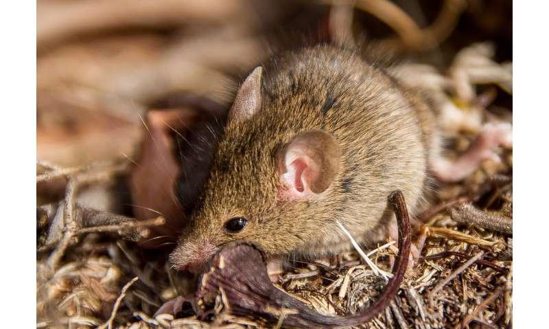 mouse australia