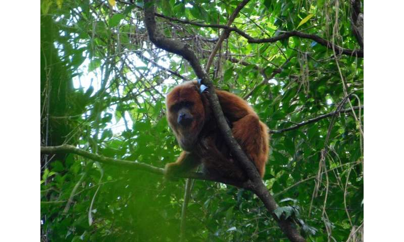 Mutations may have saved brown howlers from yellow fever virus