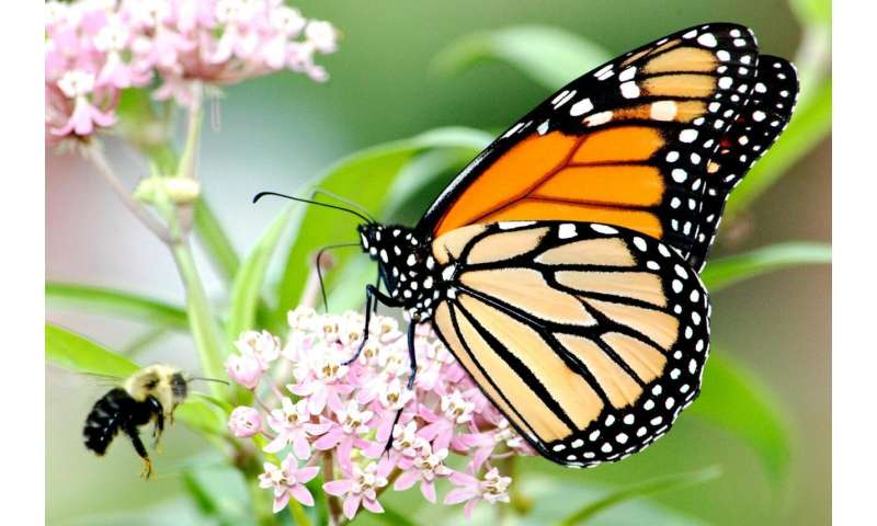Native milkweed cultivars planted by the public can support monarch butterflies and bees