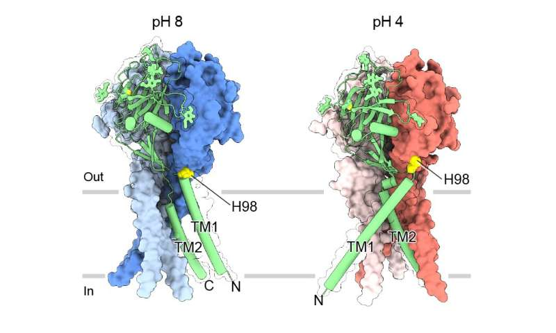 The 'map' near the atom reveals the structure for maintaining the pH balance in cells