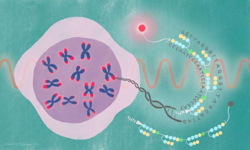 Near-infrared probe decodes telomere dynamics