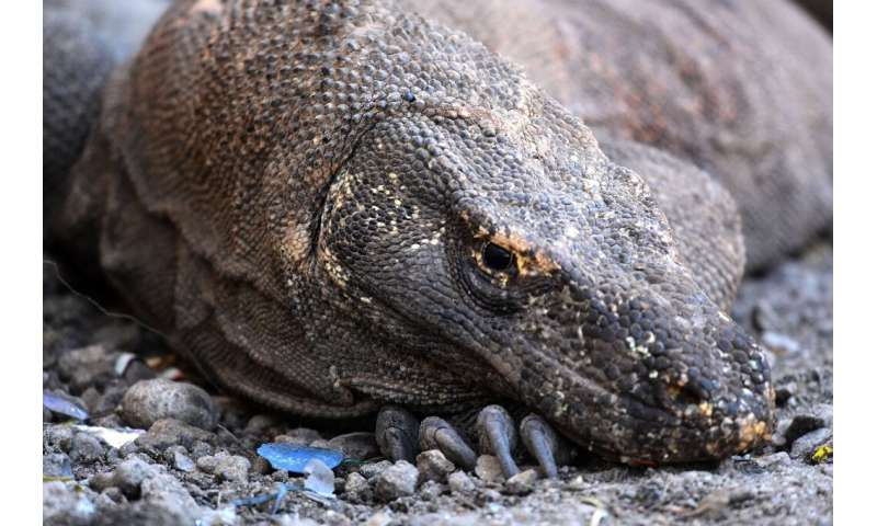 Nearly 3,000 of the world's biggest lizard species live on a cluster of islands east of Bali, where they grow to around three me
