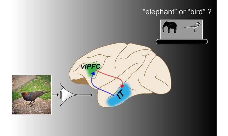 Neural pathway crucial to successful rapid object recognition in primates