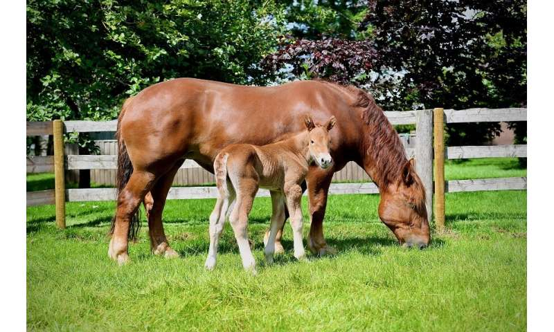 New hope for rare breeds as a healthy filly foal is born from sexed semen