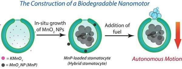 New 'hybrid engine' for biodegradable nanomotors that transport drugs to diseased tissue