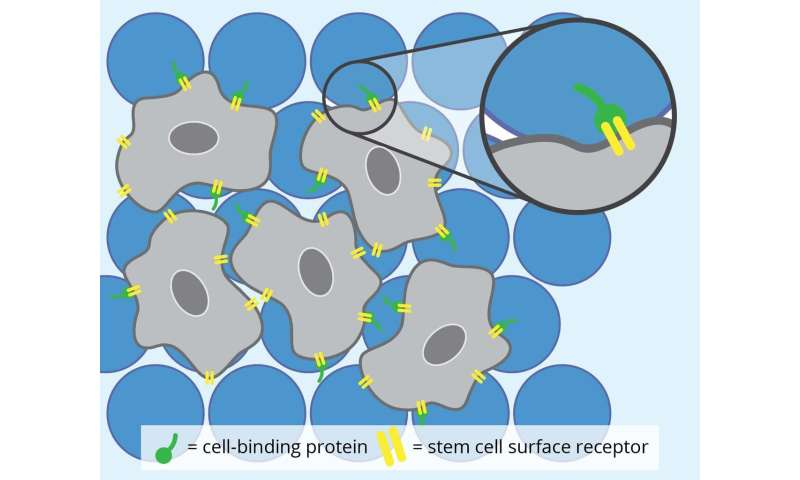 New hydrogels wither while stem cells flourish for tissue repair