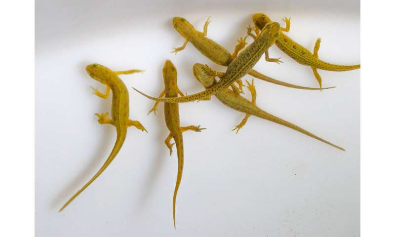 New information about the transmission of the amphibian pathogen, Bsal