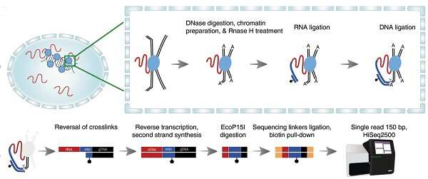 New mapping technique shows how RNA interacts with chromatin in the genome