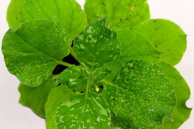 New plant gene editing approach improves speed, scalability and heritability