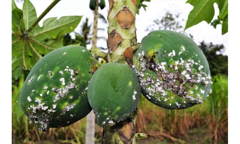 New research maps potential global spread of devastating papaya mealybug pest