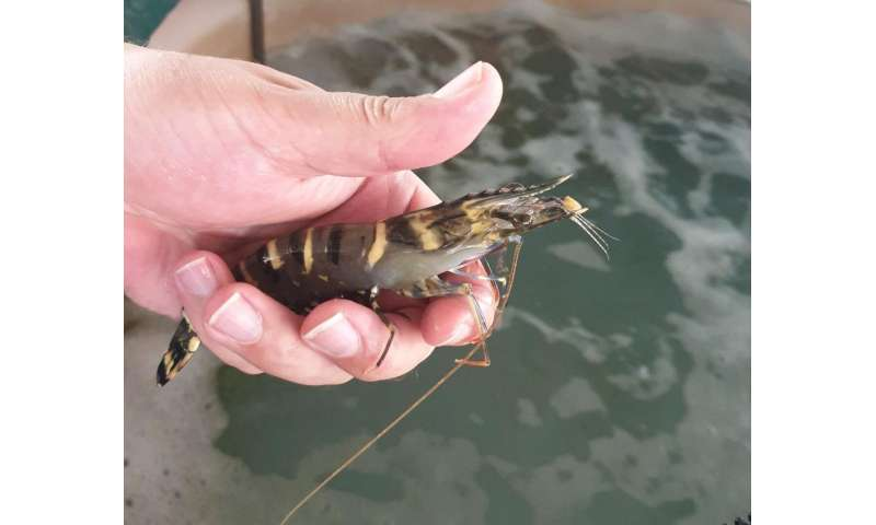 New studies find agricultural pesticides can affect prawns and oysters