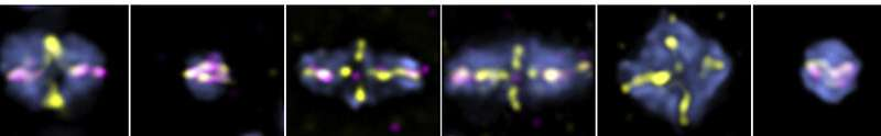 New studies show how DNA crossovers can drive healthy, abnormal sperm, egg cell division