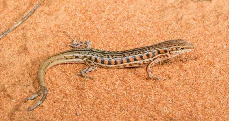 New study analyses multiple-tailed lizards