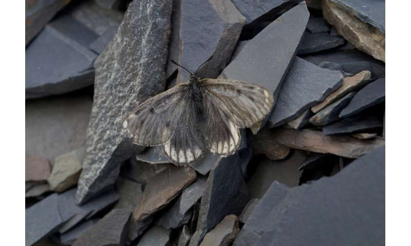 New subspecies of the rarest Palaearctic butterfly found in the Arctic Circle of Yakutia