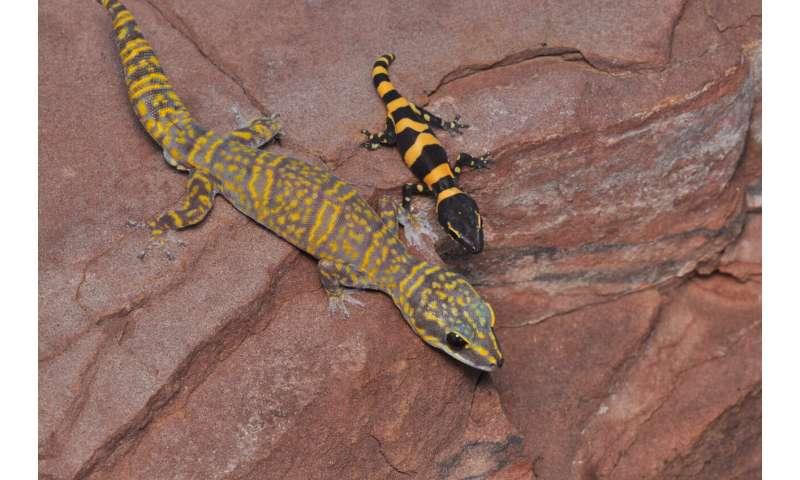 New velvet gecko discovered on one of Australia's northern islands