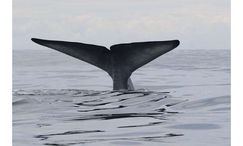 New Zealand blue whale distribution patterns tied to ocean conditions, prey availability