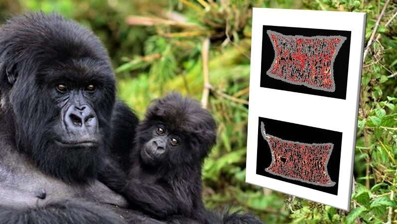 No Bones About It: Wild Gorillas Don't Develop Osteoporosis Like Their Human Cousins