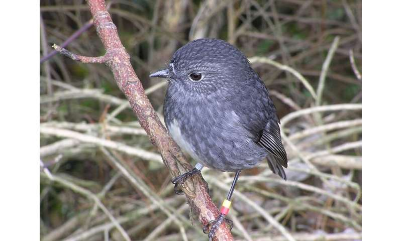 North Island robins found to have long term memory