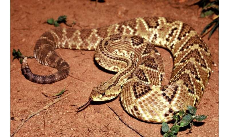 Novel formulation permits use of toxin from rattlesnake venom to treat chronic pain