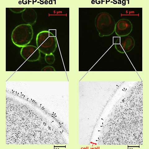 Novel protein positioning technique improves functionality of yeast cells